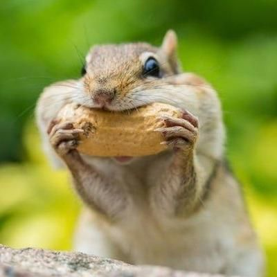 Avatar for Chomping Chipmunks Rodent Control