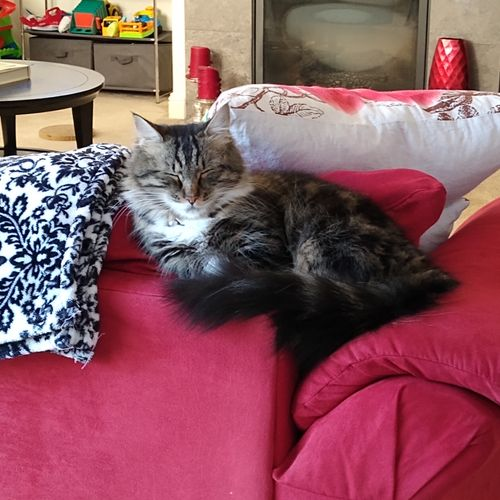 Munchkin KITTY. This is Tiger Lily. She is Sasha's sister in the next photo.